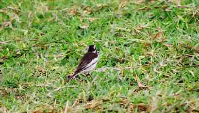 African pied wagtail in Salima