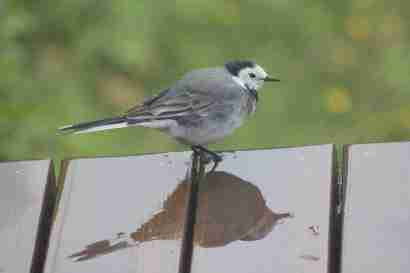 White wagtail (Maríuerla)