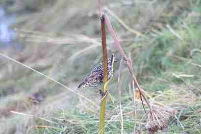 Starling (Stari) hanging on a straw