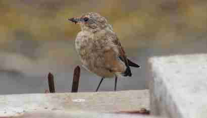 Northern wheatear (Steindepill)