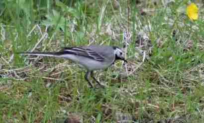 White wagtail (Maríuerla) in a grass
