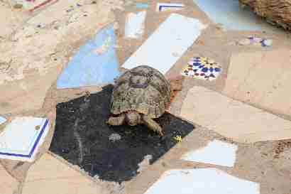 Turtle in Oued massa