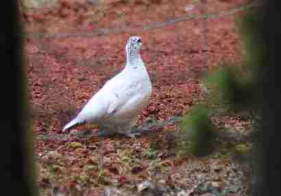 Ptarmigan (Rjúpa) in summerhouse