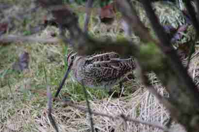 Common snipe (Hrossagaukur)