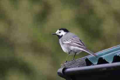 White wagtail (Maríuerla) on a roof